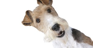 en glad foxterrier.jpg